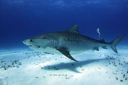 Tiger Shark (Galeocerdo cuvier) Cruising over White Sand Bottom. Tiger Beach, Bahamas
