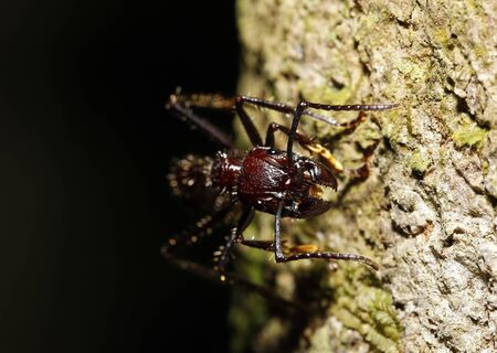 Close-up of a Bullet Ant from Front. Tambopata, Amazon Rainforest, Peru