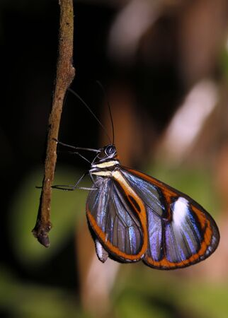 Lavinia Clearwing (Hypoleria lavinia) Butterfly. Tambopata, Amazon Rainforest, Peru