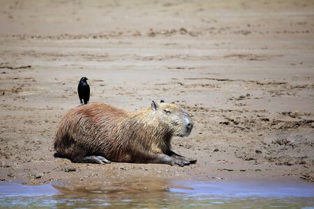 Capybara lying on the River Bank, with a Bird on Its Back Tambopata, Amazon Rainforest, Peru