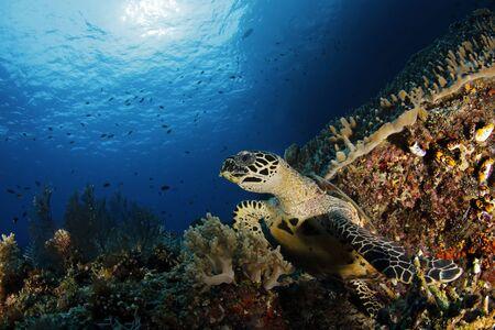 Hawksbill Turtle (Eretmochelys imbricata) on Coral Reef. Misool, Raja Ampat, Indonesia