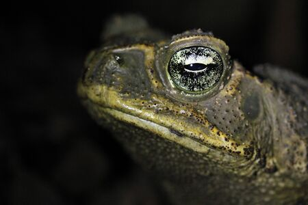 Close-up of a Cane Toad (Rhinella marina), Drake Bay, Costa Rica Stock Photo