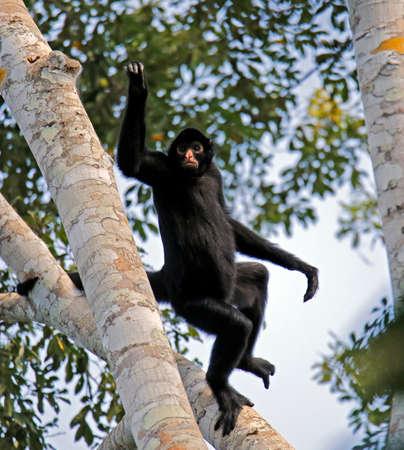 Peruvian Spider Monkey (Ateles chamek, aka Black-faced Black Spider Monkey) Taking off from a Tree. Tambopata, Amazon Rainforest, Peru
