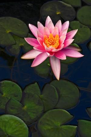 flor loto: Flor Del Loto