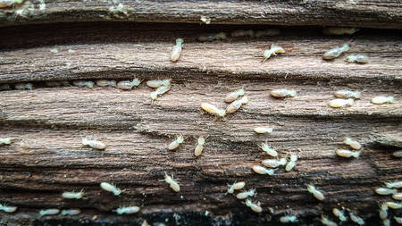 Wood board was eating by group of termites