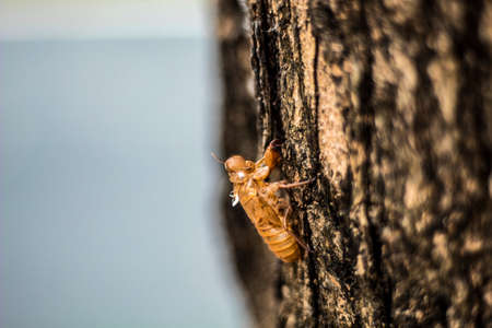 molting of cicada on tree, cicada molting
