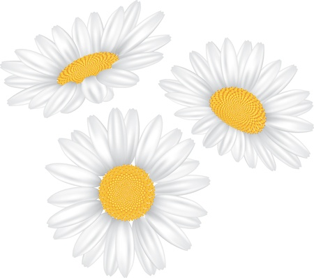 chamomile flower isolated on white photo-realistic vector   illustration Stock Vector - 13001658