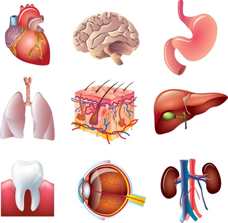 human liver: human body parts detailed vector set