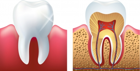 dentin: shiny tooth and cutaway photo-realistic vector