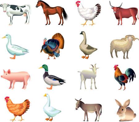 ocas: animales de granja conjunto de vectores fotorrealistas Vectores