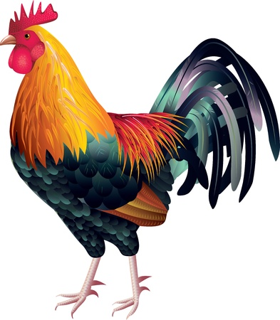 rooster photo-realistic vector  Illustration