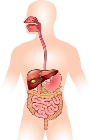 układ pokarmowy: Ludzki układ trawienny szczegółowe kolorowe ilustracja Ilustracja