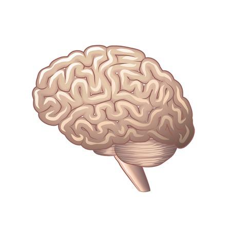 hipofisis: La anatom�a del cerebro aislado en blanco fotorrealista ilustraci�n vectorial