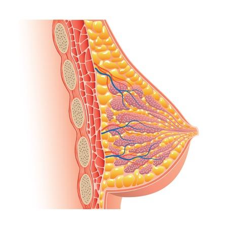 brasiere: Anatom�a de mama aislados en blanco fotorrealista ilustraci�n vectorial
