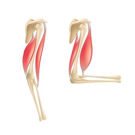 白の写実的なベクトル イラスト上に分離されて肘関節の解剖学
