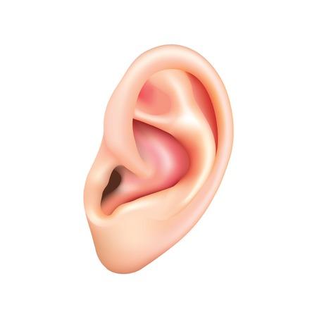 人間の耳は白の写実的なベクトル イラスト上に分離されて