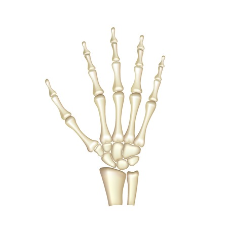 human bones: Human hand bones anatomy isolated on white photo-realistic vector illustration