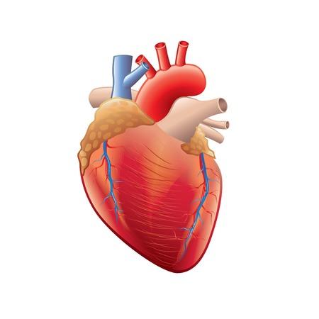 corazon humano: Anatomía del corazón humano aislado en blanco fotorrealista ilustración vectorial Vectores