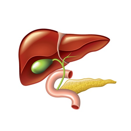 Human liver with gallbladder, duodenum and pancreas isolated vector illustration