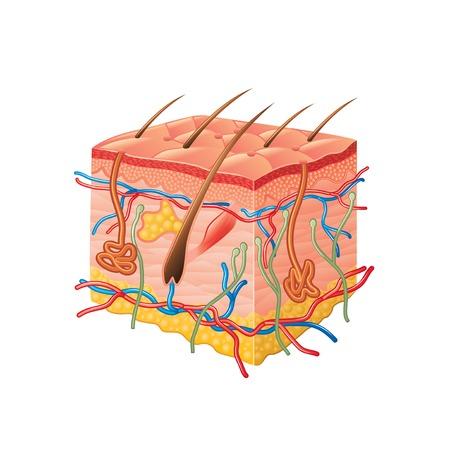 anatomia: Anatomía de la piel humana aislada en blanco fotorrealista ilustración vectorial