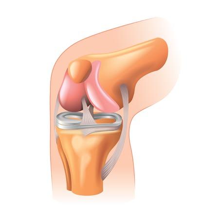 de rodillas: Rodilla anatom�a conjunto aislado en blanco fotorrealista ilustraci�n vectorial