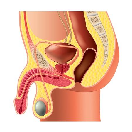 남성 생식 기관의 해부학 고립 된 사실적인 벡터