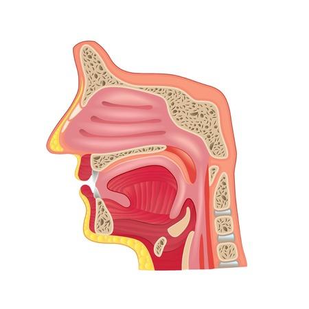 白の写実的なベクトル イラスト上に分離されて鼻の解剖学