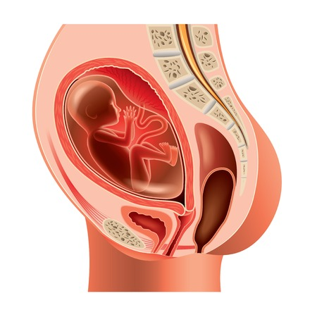 fetal development: Pregnant woman anatomy and fetus isolated photo-realistic vector