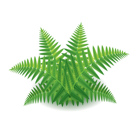 green flower: Fern isolated on white photo-realistic vector illustration