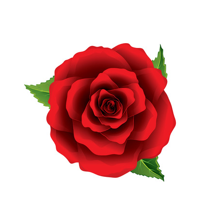 Red rose flower top view isolated on white photo-realistic vector illustration