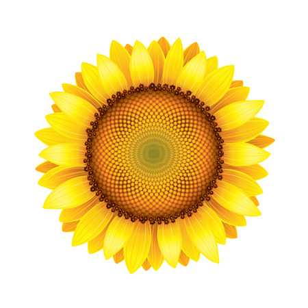 sunflower seeds: Sunflower isolated on white photo-realistic vector illustration