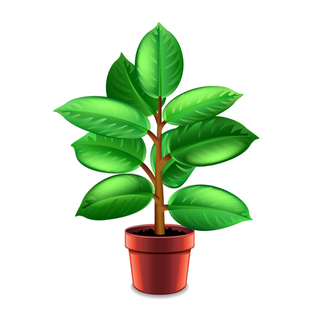 Ficus tree in pot isolated on white photo-realistic vector illustration