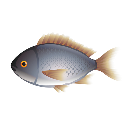 daurade: Dorada fish isolated on white photo-realistic vector illustration Illustration
