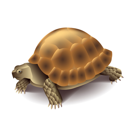 carapace: Turtle isolated on white photo-realistic vector illustration