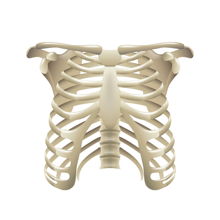 rib: Rib cage isolated on white vector illustration