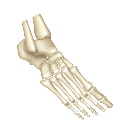 articular: Foot bones isolated on white vector illustration Illustration