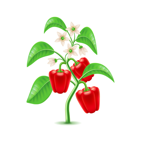 Growing pepper plant isolated photo-realistic vector illustration