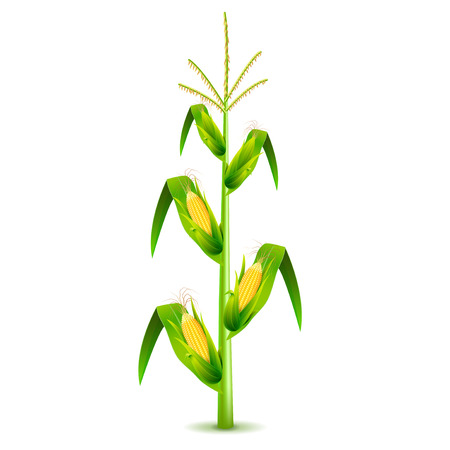 Growing corn plant isolated photo-realistic vector illustration Vettoriali