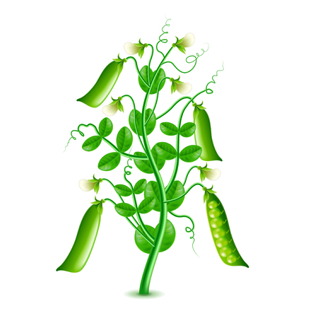 Growing peas plant isolated photo-realistic vector illustration