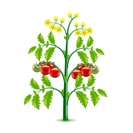 Growing tomato plant isolated photo-realistic vector illustration Illustration
