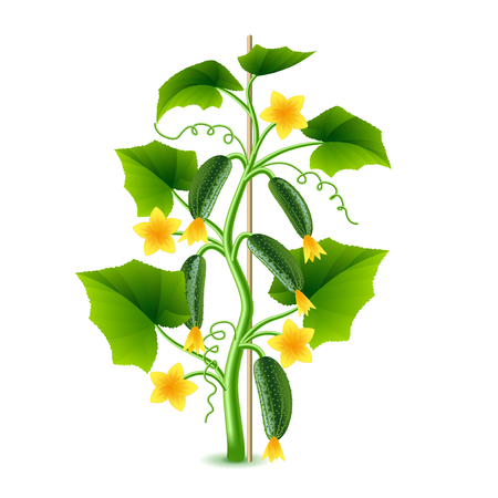 young leaves: Growing cucumber plant isolated photo-realistic vector illustration
