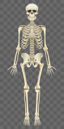 Menschliches Skelett lokalisiert auf weißer fotorealistischer Vektorillustration