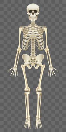 Scheletro umano isolato su bianco foto-realistica illustrazione vettoriale