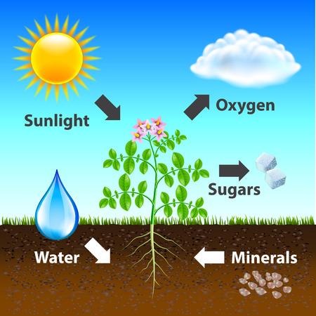 Fotosynthese-Diagramm-Vektor-Hintergrund fotorealistische Illustration Vektorgrafik