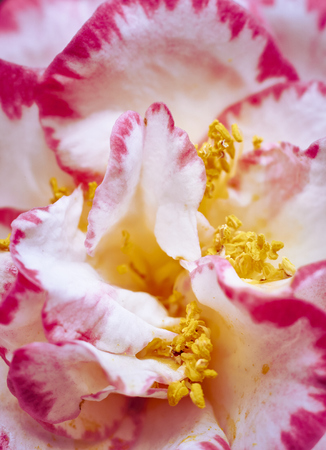 background of pink and white petals with ocher and yellow tones