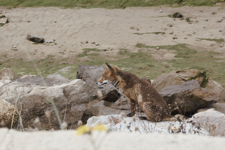red fox sitting on a rock of the estuary of the guadiana river contemplating the landscape