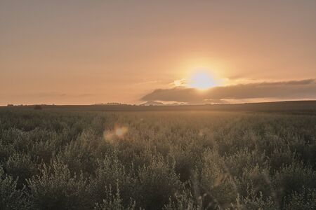 sunrise in an olive grove of the low vegas of the intensive agriculture guadiana