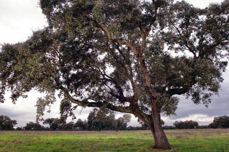 a huge holm oak seen from the foreground and in the background you can see the pasture