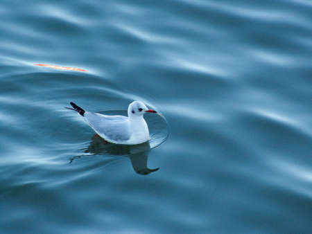 ander: Seagull in the Ria de Bilbao, Bizkaia, Basque Country. Ander Izeki. Stock Photo
