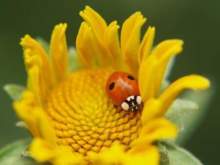 Ladybird on a yellow flower photo